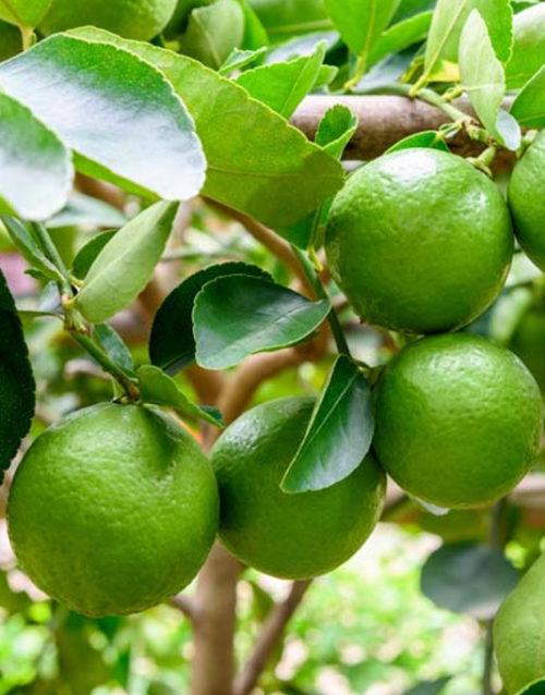 Le Citron du Bassin - Citron Vert