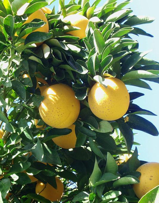 Le Citron du Bassin - Pamplemousse