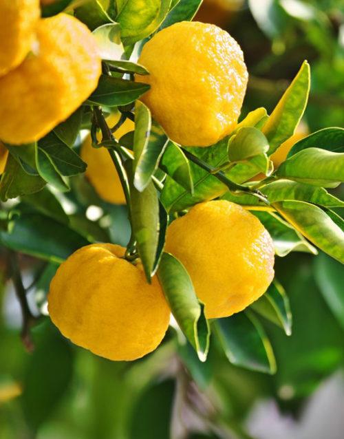Le Citron du Bassin - Yuzu