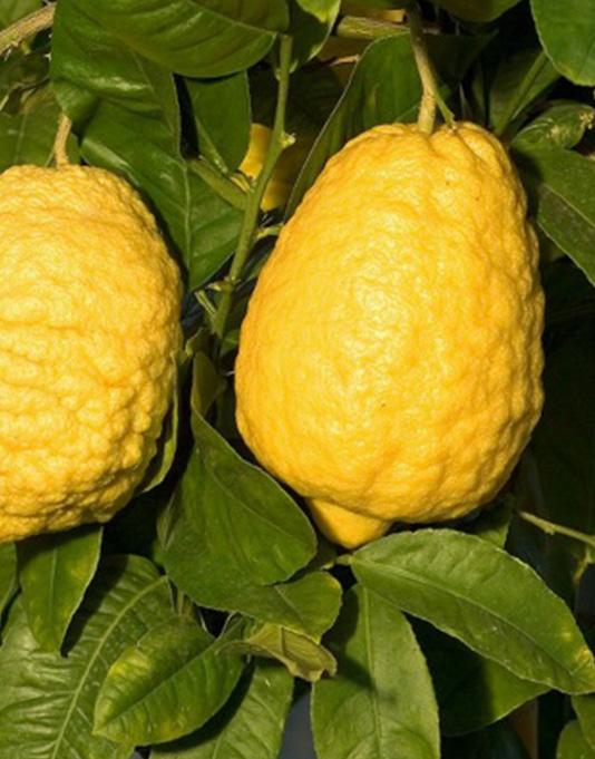 Le Citron du Bassin - Cedrat