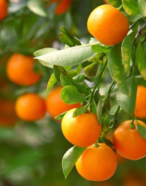 Le Citron du Bassin - Clementine