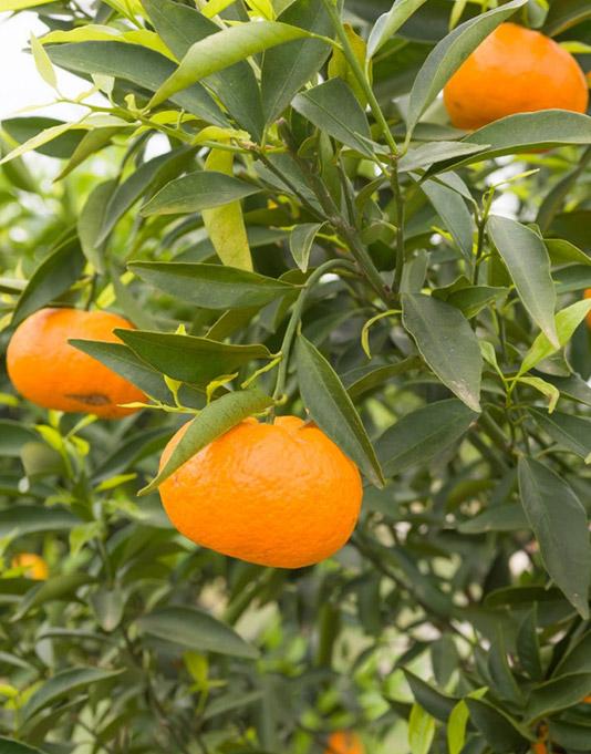 Le Citron du Bassin - Mandarine