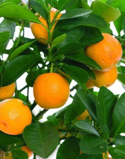 Le Citron du Bassin - Orange